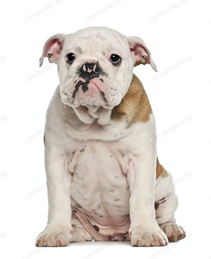English Bulldog puppy, 4 months old, sitting against white background