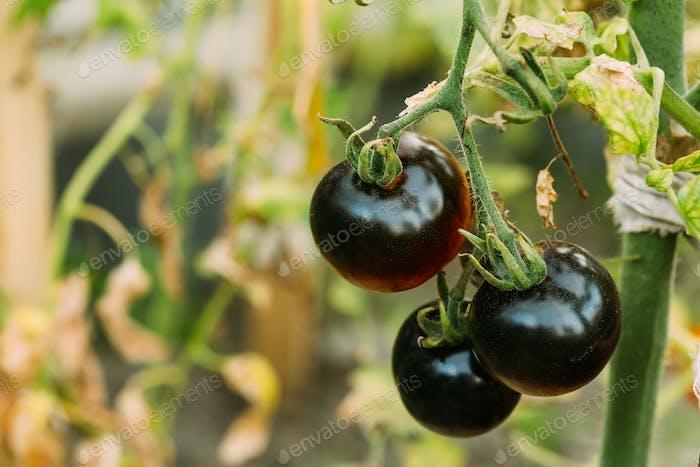 Black Growing Organic Tomato. Homegrown Tomatoes In Vegetable Ga