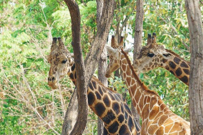 Kopf Schuss Gruppe von Giraffe