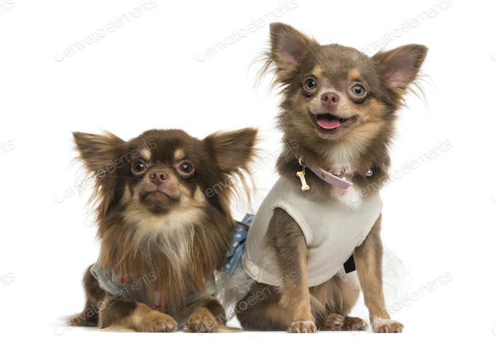 Dressed-up Chihuahuas next to each other, isolated on white