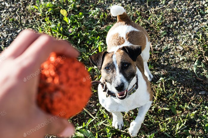 Funny Dog, Jack Russell Terrier Looking Up Ready to Play with Bright Ball.