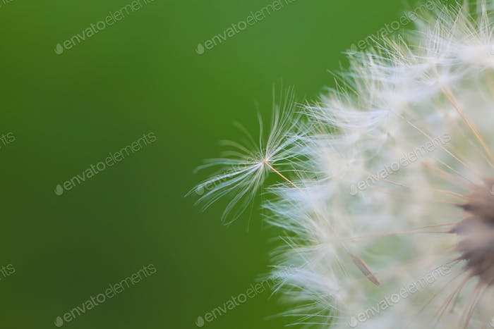 Dandelion seeds in the morning sunlight