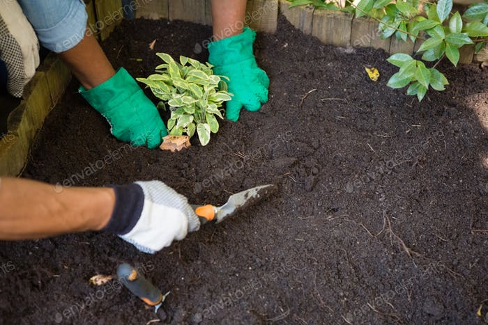 Couple planting young plant into the soil in garden
