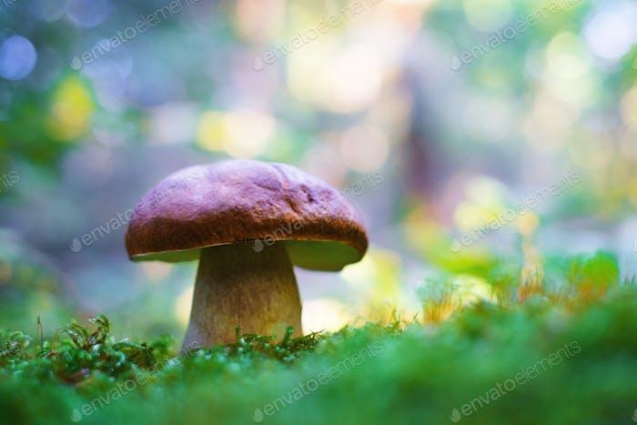 Großer weißer Pilz im Herbstwald