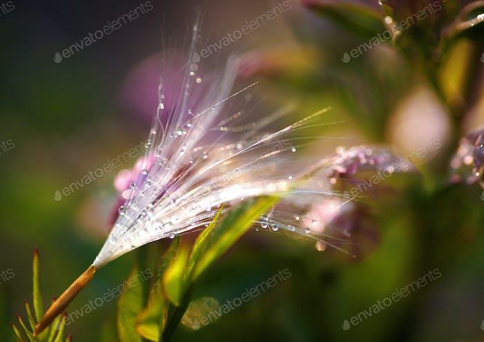 Fluff seeds float with summer breeze