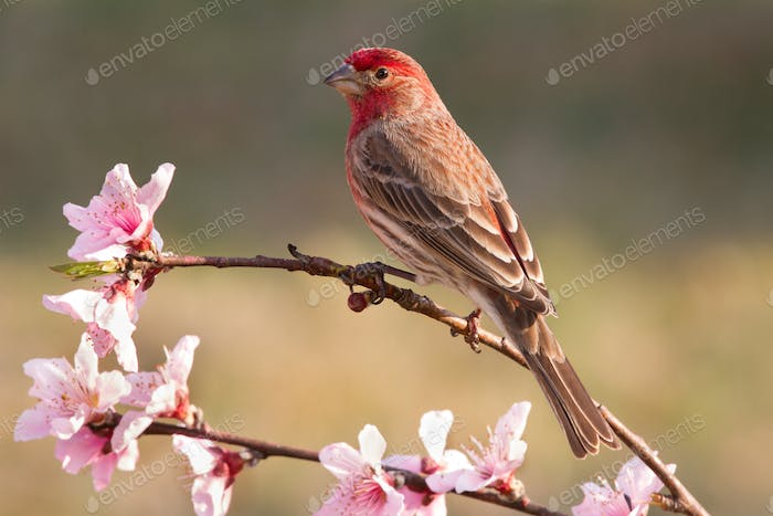 House Finch on Peach Branch