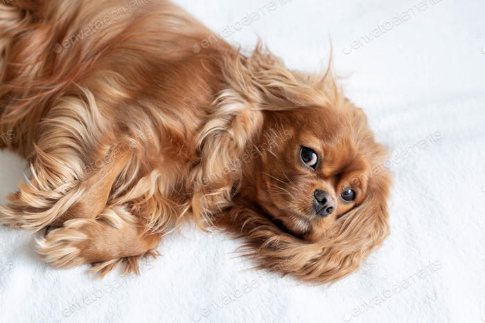 Adorable dog - cavalier spaniel