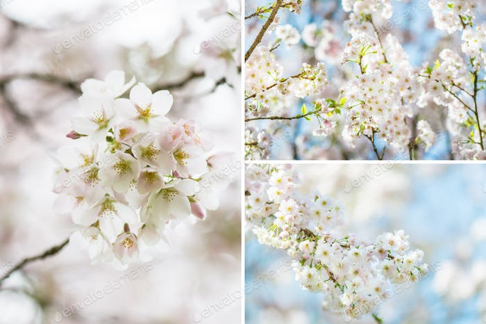Collage of Blooming cherry tree
