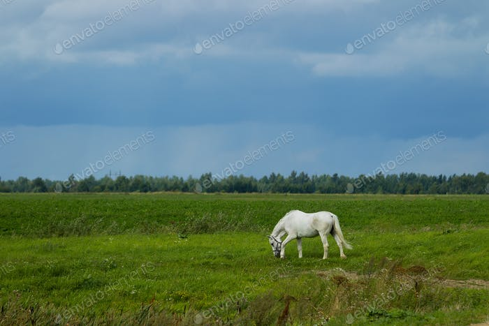 Summer landscape with white horse on grazing