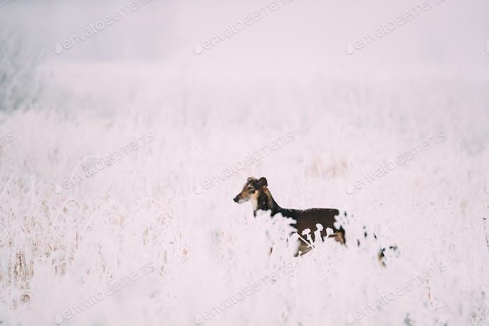 Hunting Sighthound Hortaya Borzaya Dog During Hare-hunting At Wi