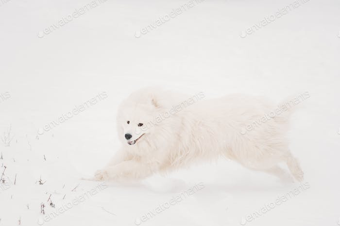 Young White Samoyed Dog (Bjelkier, Smiley, Sammy) Playing Runnin