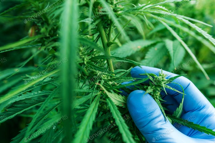 Scientist examining development of Cannabis sativa plant