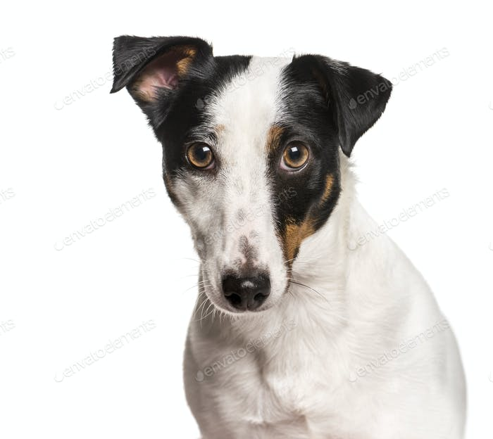 Close-up of Jack Russel Terrier dog, cut out