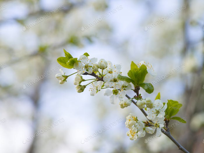 Blooming white cherry in spring day, sunlight, Macro
