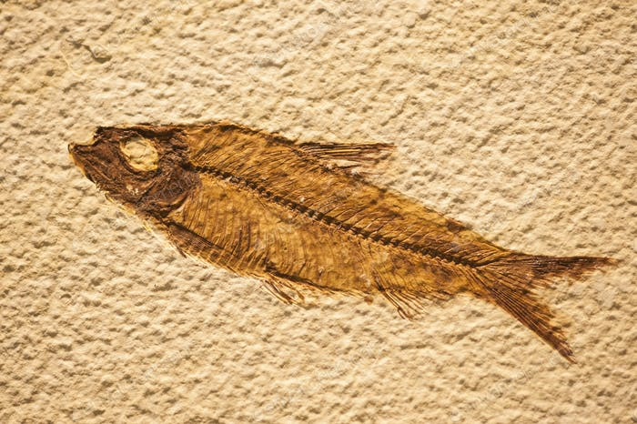 Fossil of fish similar to present