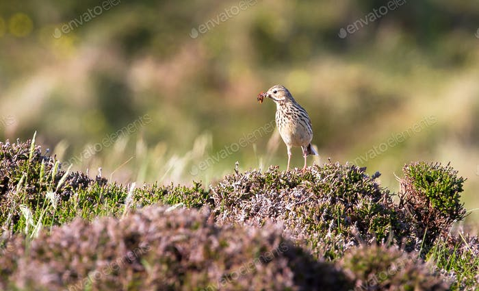 Meadow Pipit Bird in Scotland