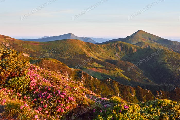 Rhododendren blühen in einer schönen Lage in den Bergen. Schöner Sonnenuntergang. Blühende