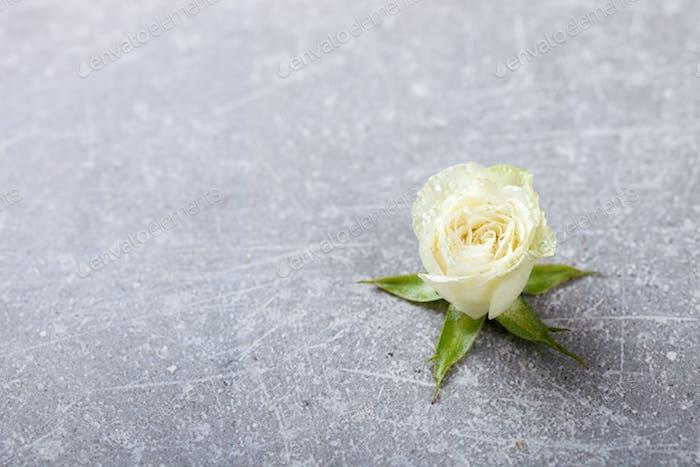 Weiße Rosen Blumen. Geschenk für einen romantischen Urlaub Valentinstag.