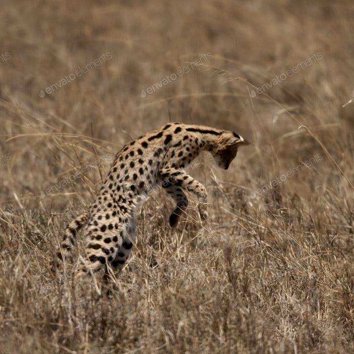 Serval jumping, Serengeti National Park, Serengeti, Tanzania