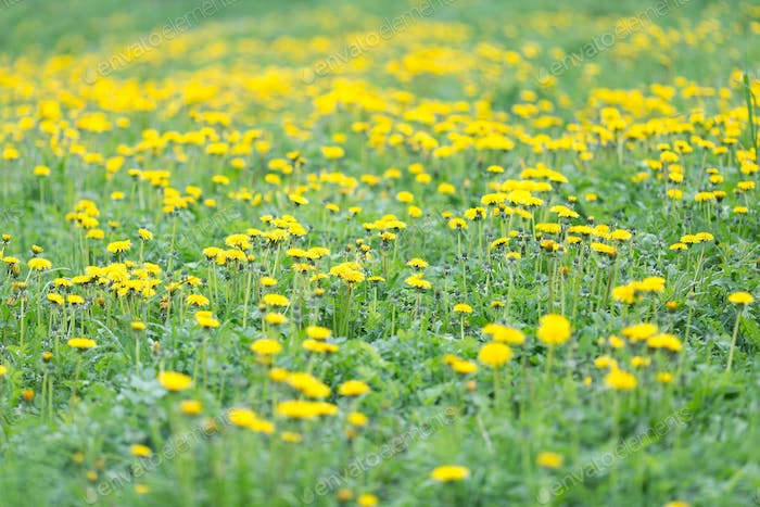 Meadow with yellow blooming dandelions