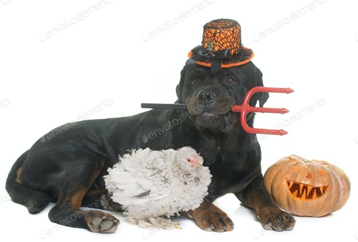 rottweiler, chicken and pumpkin of halloween