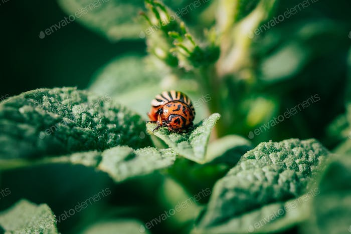 Potato Striped Beetle - Leptinotarsa Decemlineata Is A Serious P