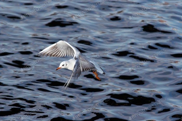 Gull flying above river