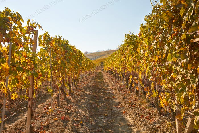 Path in the vineyard in autumn with yellow leaves in a sunny day