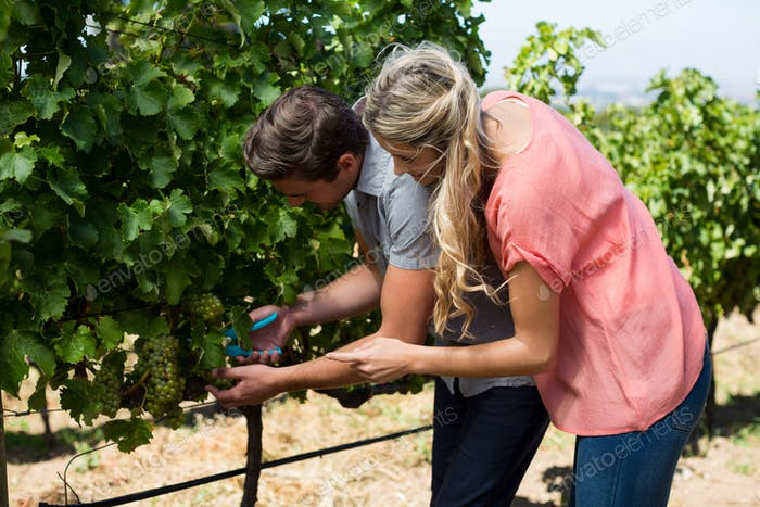 Young couple using pruning shears at vineyard
