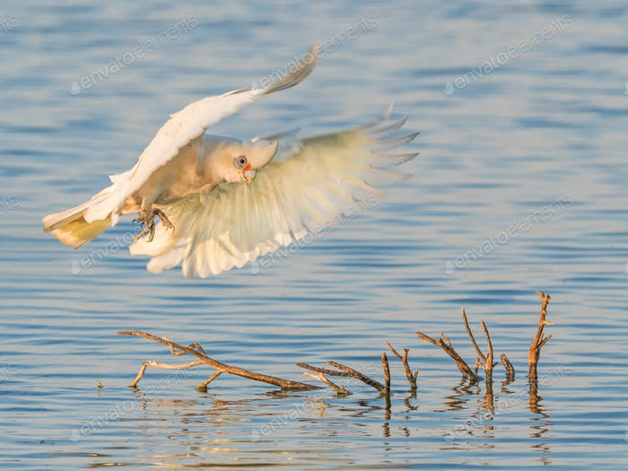 A Little Corella in Flight