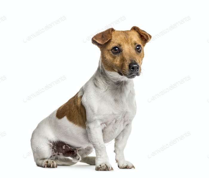 Jack Russell Terrier sitting, isolated on white