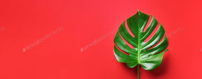 Tropical leaf of monstera over red background. Top view, copy space. Minimal summer concept. Banner