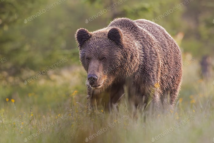 Male brown bear standing on the meadow in the summer with blurred background