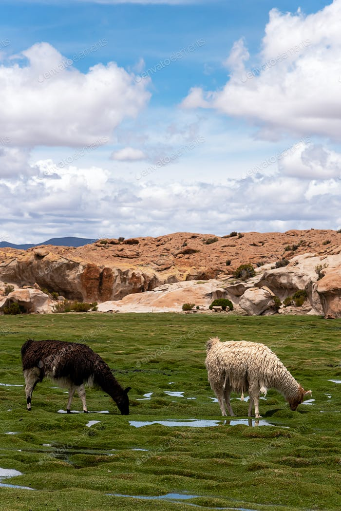 Some llamas (camelid native to South America), eating grass