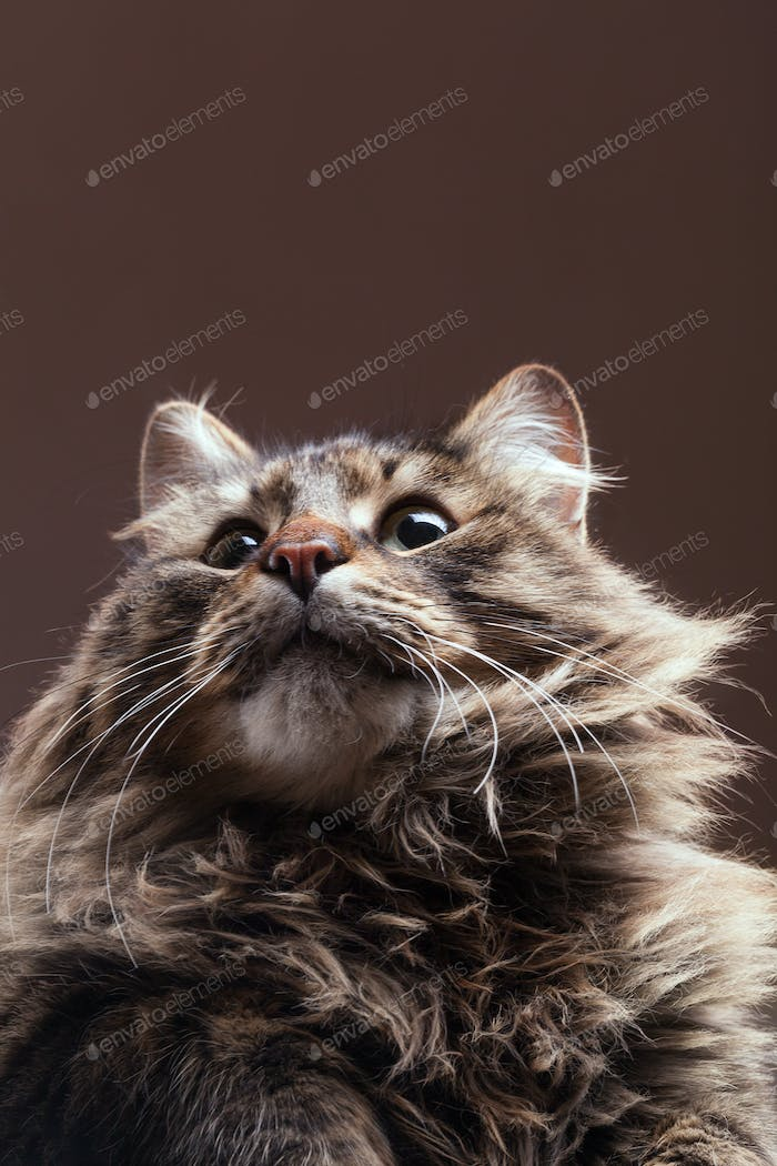 Cat looking up on brown studio background