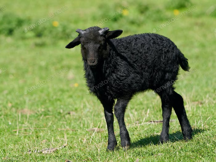 Juvenile black sheep