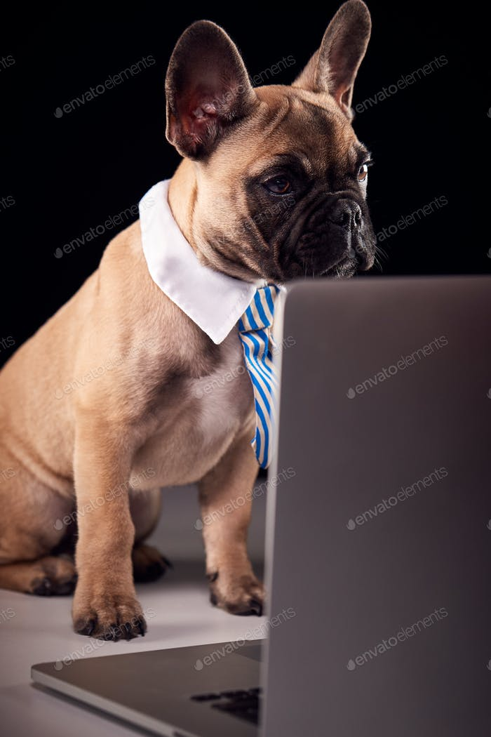 Studio Portrait Of French Bulldog Puppy Wearing Collar And Tie Using Laptop Against Black Background