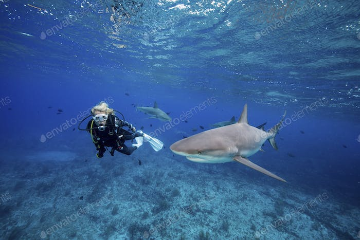 Diver observes one of several Caribbean reef sharks, Bimini.,Scuba diver observes Reef shark.