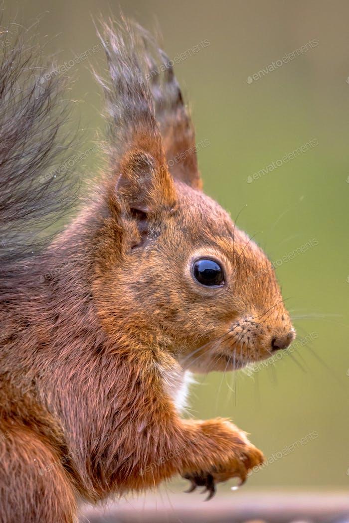 Red squirrel portrait side view