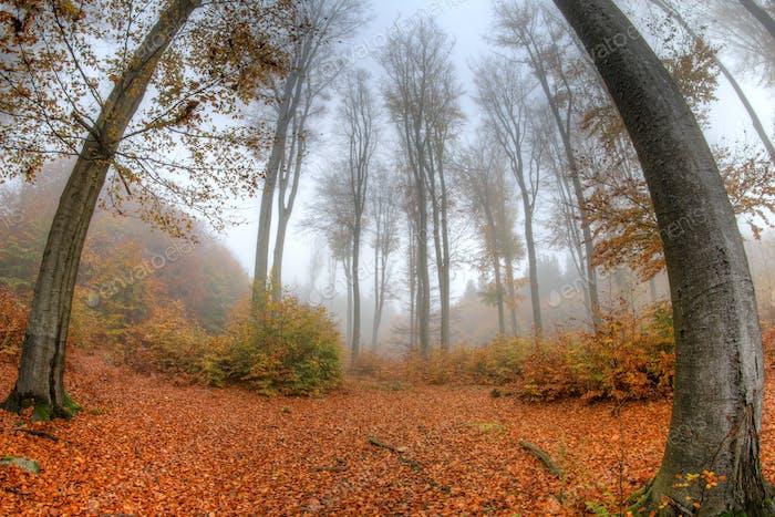 Misty haze in a beech forest in autumn - fish eye lens