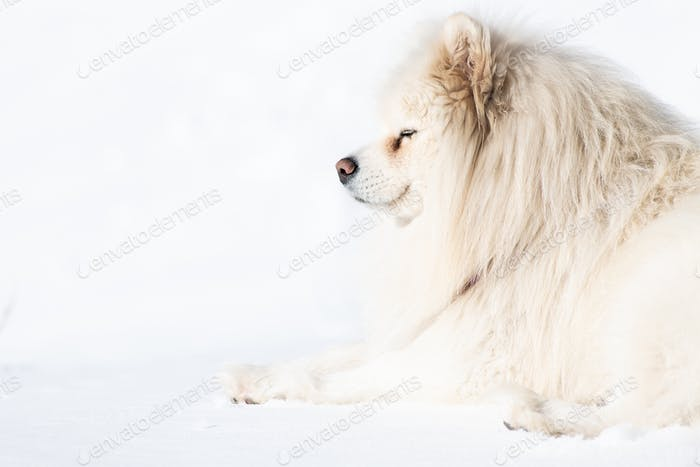 Samoyed dog on a white background of snow