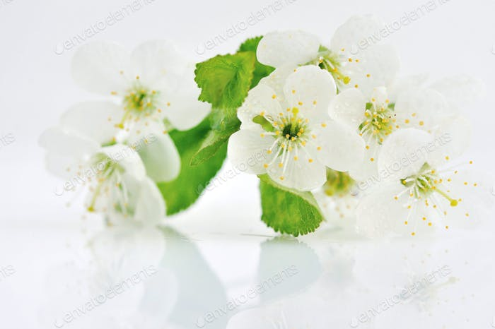 Cherry twig in bloom isolated on a white background