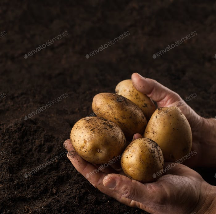 farmer hands holding potatoes above black ground
