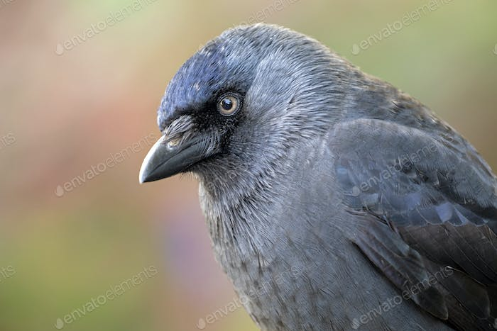 close-up view of beautiful Jackdaw defocused background
