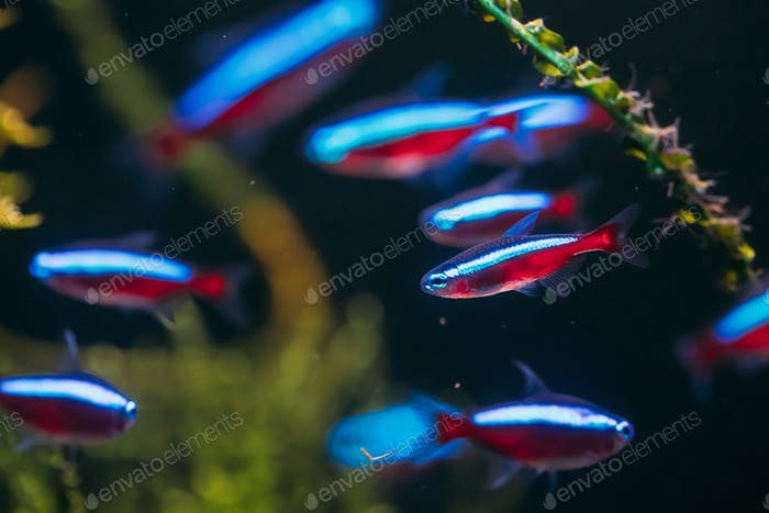 Cardinal Tetra Fish Swimming In Water