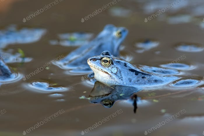 Moor frogs on the lake