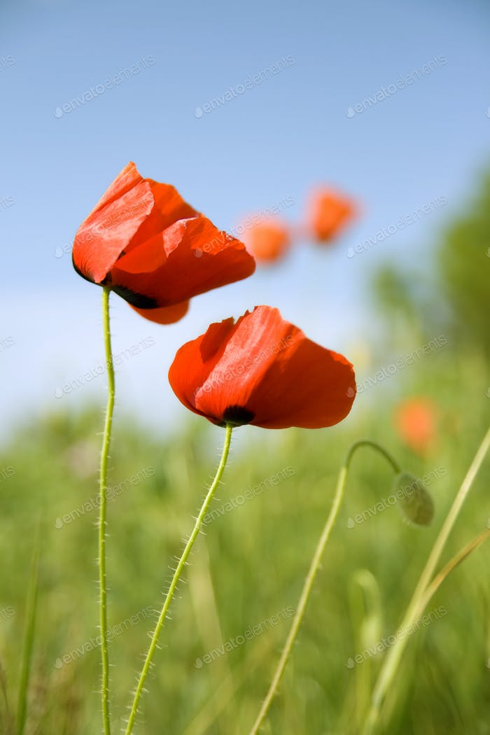 Flowers of red poppy