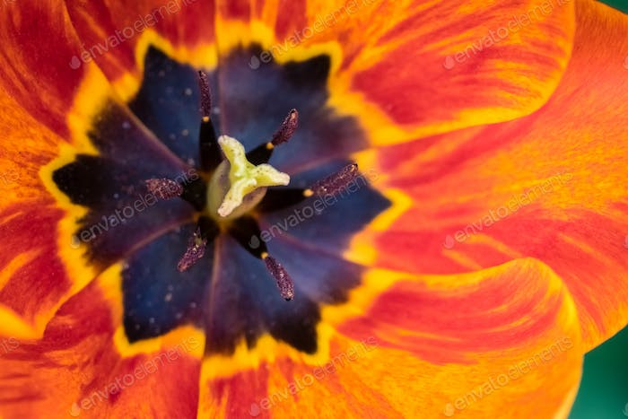 Thumbnail for Red, yellow and orange tulip head