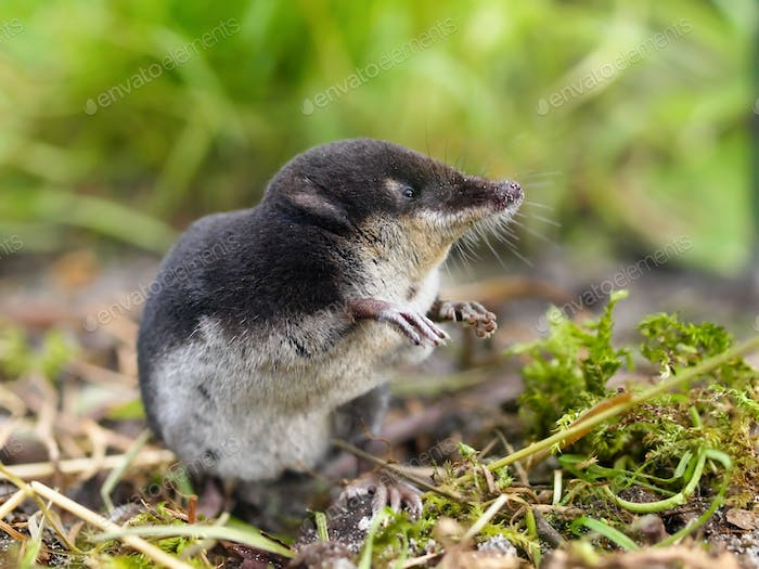 European Water Shrew in Natural Habitat