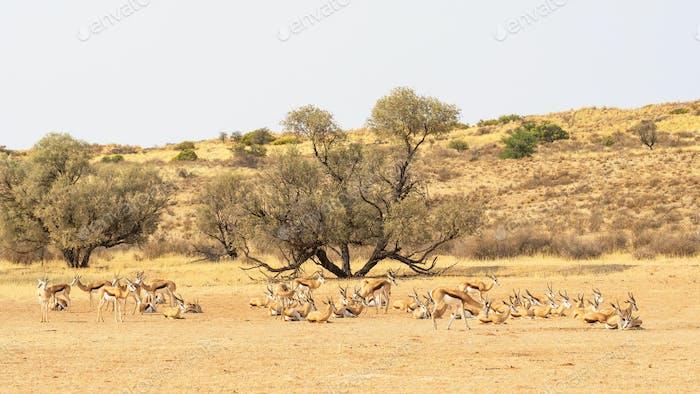Resting Springbok Herd